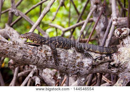 Monitor lizard resting on a tree branch in Madu Ganga river - Sri Lanka