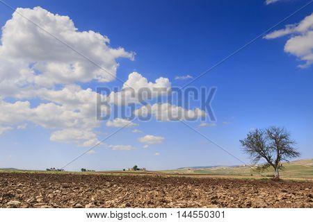 SUMMER LANDSCAPE.Between Apulia and Basilicata:lonely tree on plowed soil.ITALIA