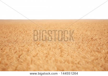 big golden field covered of cereals till skyline isolated over white