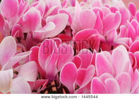 Flower Cyclamen  Pink En Masse