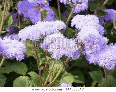 Purple fluffy flowers of ageratum in the flower bed in the Park