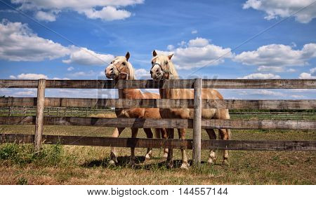 Two beautiful horses over a fence on farm