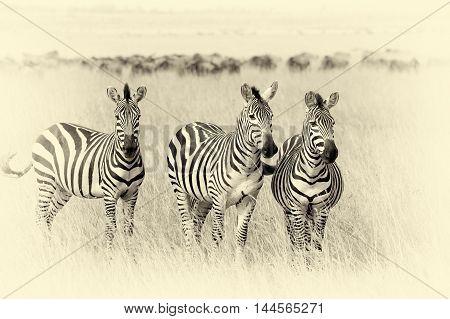 Zebra On Grassland In Africa. Vintage Effect