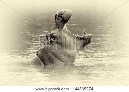 Hippo (hippopotamus Amphibius) In The Water. Vintage Effect