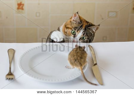 Cat playing with little gerbil mouse on the table.