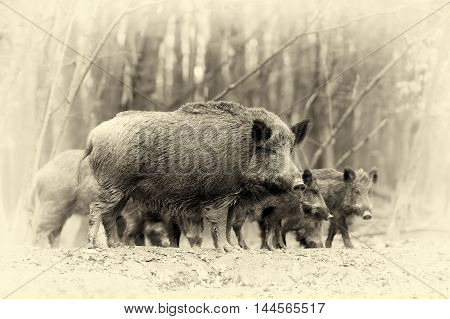Wild Boar In Autumn Forest. Vintage Effect