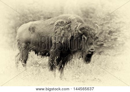 Male Of Bison In The Forest. Vintage Effect