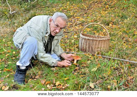 Old vital good looking man picking edible Saffron Milkcap or Lactarius deliciosus mushroom in autumn forest