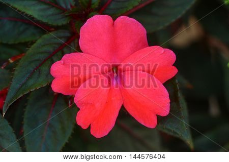 Impatiens hawker, also know as New Guinea impatiens, and its dark green with red vein leaves.