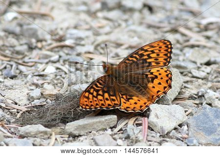 Hydaspe Fritillary (Speyeria hydaspe) at Olympic National Park
