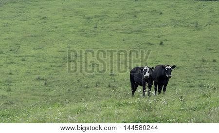 Two black and white heifers to the lower right on a pasture background