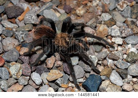 A male desert tarantula crosses a gravel surface in the Sonoran desert. You can see one of his Mating hooks and he has sand specks and water droplets on his body.