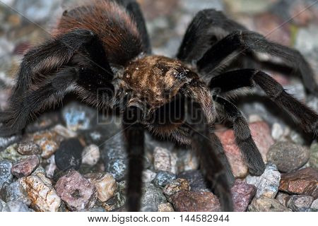 A male desert tarantula sits on a gravel surface in the Sonoran desert. You can see one of his Mating hooks and he has sand specks on his body. Shallow depth of field focus on eye.