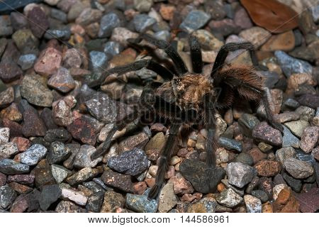 A male desert tarantula crosses a gravel surface in the Sonoran desert. You can see his mating hooks and he has sand specks and water droplets on his body.