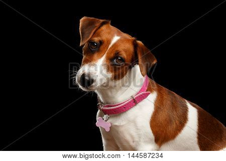 Closeup portrait of Cute face Jack Russell Dog Girl with Pink collar, on Isolated Black Background, Front view