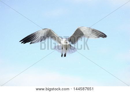 Bird flying is a beautiful white seagull spreading it's angel like feathery wings in full flight.