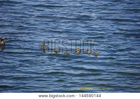A mother mallard duck (Anas platyrhynchos) swims with her babies in a small lake in Joliet, Illinois.