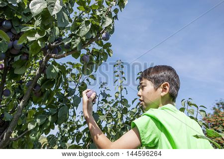 Boy checks picked plum. A young boy checks a plum he just picked.