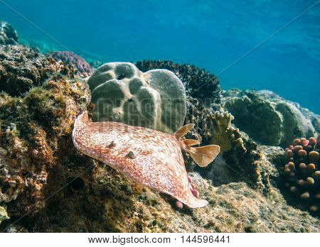 Electric rays or Torpediniformes swimming underwater Red Sea. Egypt
