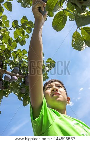 Boy reaches outward for plum. A young boy has fun picking fresh plums off of a plum tree.