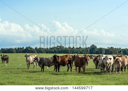 A background image of crossbred Brahman-influenced cows in a pasture with blue sky
