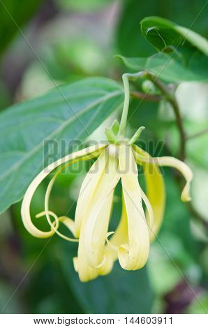 Kananga Or Ylang Ylang Flower With Nature Background