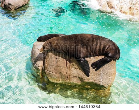 Close-up Portrait Of Fur Seal, Arctocephalus Forsteri
