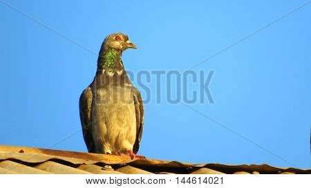 Pigeon roof blue sky bird roost tin