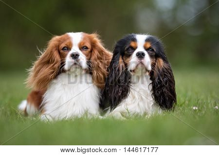 Two Cavalier King Charles Spaniel Dogs Outdoors In Nature