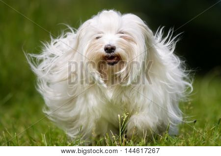 White Longhaired Dog