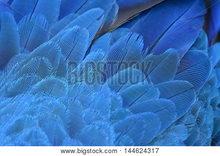 An amazing blue background of bird feathers the fascinated Yellow andf Blue macaw bird's wing texture