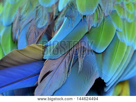 An amazing puffy green and blue bird feathers the fascinated Buffon's macaw bird's wing texture