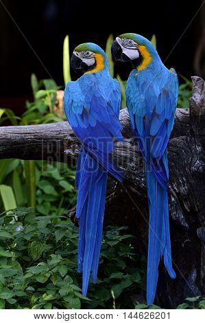 Sweet pair of Blue and Gold macaw birds perching on the branch together lovely animal