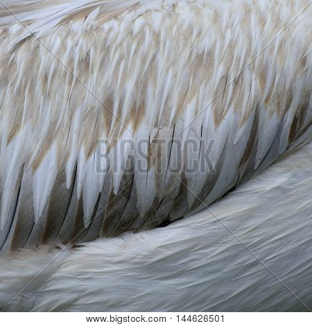 Soft brown to white texture of Spot-billed Pelican bird the duck fur background