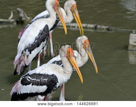The faces of painted stork (Mycteria leucocephala) the funny orange bald head with long yellow bills birds standing together in the steam