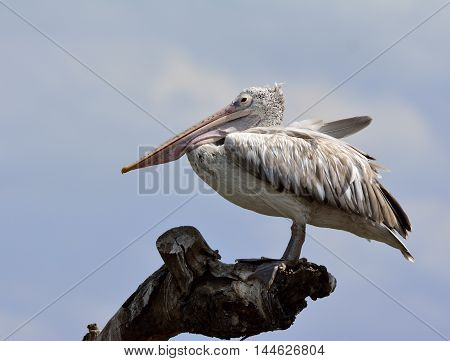 The spot-billed pelican or grey pelican (Pelecanus philippensis) sitting on the dried tree on grey sky