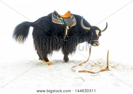 yak with saddle standingl in the snow is isolated on white background