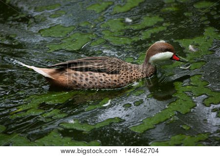 White-cheeked pintail (Anas bahamensis), also known as the Bahama pintail. Wildlife bird.