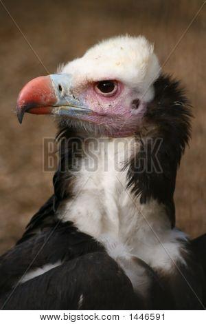 Griffon Vulture (1647)