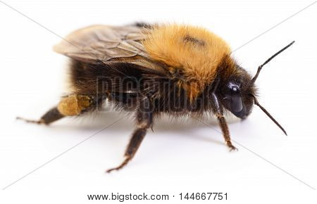 Macro view of bumblebee on white background.
