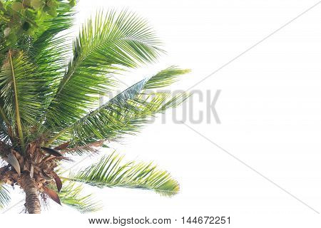 coconut tree isolated on white backgroundplant found throughout in seaside tropical.