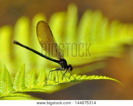 Damselfly on a bright yellow fern leaf.
