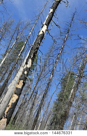 Forest of burned trees. Landscape of forest after fire with blue sky on background.