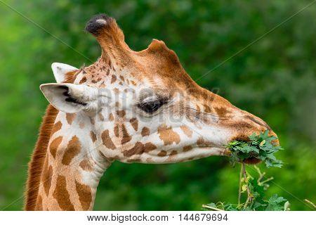 Giraffe chewing green branch closeup. Giraffa camelopardalis