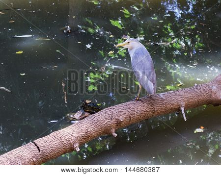 Nycticorax Nycticorax And Water Turtle In Pond