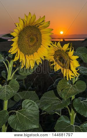 Bashkiria, Russia. Sunflower sunset on old fanatic.