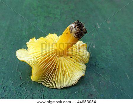 Yellow mushroom underside showing gills for identification poster