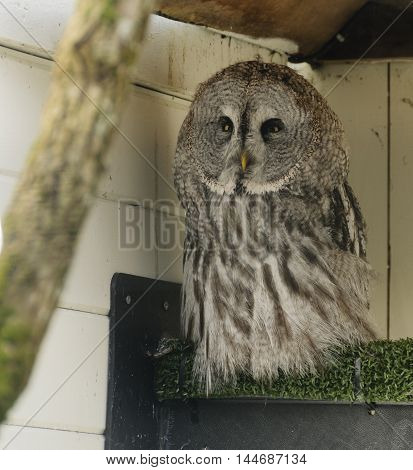 Adult great grey owl (strix nebulosa) in captivity