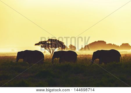 Elephant Family Is Walking At Sunset In Amboseli, Kenya.