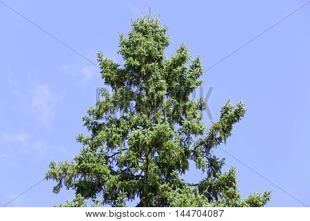 hemlock tree towering overhead against blue sky